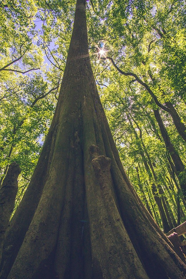 Visiting Congaree National Park: Giant Cypress
