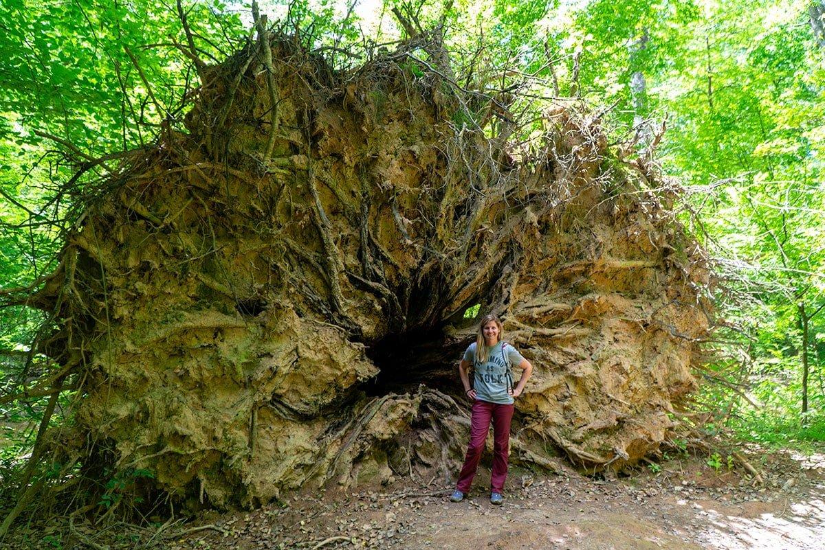 Visiting Congaree National Park: Uprooted Cypress Tree